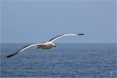 Seagull Royalty Free Stock Photo