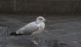 Seagull at Oslo central background Royalty Free Stock Images