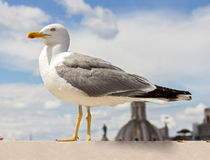 Seagull on the outlook Stock Photography
