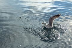 A seagull with outspread wings in the blue sea. stock images