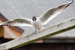 Seagull with outstretched wings just before the start. White seagull with brown head and wings outstretched on a wooden railing just before the start Stock Photography