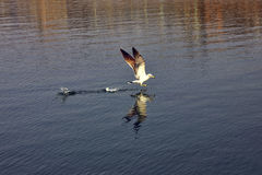 Seagull over the bay. Royalty Free Stock Photo
