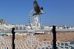 Seagull over Brighton Pier stock photo