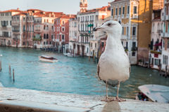 Seagull over the canal in Venice Stock Image