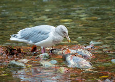 Seagull over dead salmon Royalty Free Stock Image