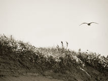 Seagull over the Dunes Royalty Free Stock Image