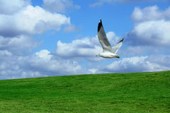 Seagull over a Field and cloudy sky Royalty Free Stock Image