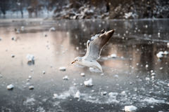 Seagull over a frozen lake Stock Photography