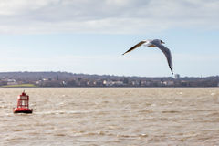 Seagull over the mersey Stock Image