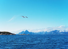 Seagull over Norwegian sea Royalty Free Stock Image