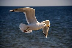 The seagull over ocean waves. Flies in the evening in direction of sunset Stock Photo