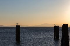 Seagull over poles on a lake, with distant hills in the backgro Royalty Free Stock Photos