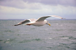 Seagull over sea Stock Photography