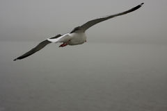 Seagull over the sea Stock Image