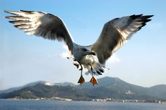 Seagull over the sea. Seagull flying over the sea near the boat Stock Image