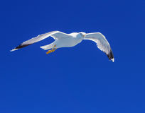 Seagull over the sea. Royalty Free Stock Photography
