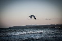 Seagull over the sea Royalty Free Stock Image