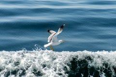 Seagull over sea Stock Photos