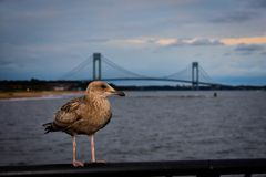 Seagull over Verrazano Bridge. Seagull overlooking Verrazano Bridge from South Beach royalty free stock photos