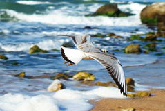 Seagull over water. The sea of Azov. The Osovyny. Stock Photos