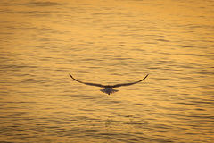 Seagull over the water on sunrise.  Stock Images