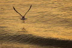 Seagull over the water on sunrise.  Royalty Free Stock Photo