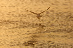 Seagull over the water on sunrise Royalty Free Stock Photos
