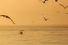 Seagull over the water on sunrise Stock Images