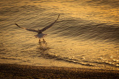 Seagull over the water on sunrise.  Stock Photos
