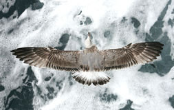 Seagull over waves Royalty Free Stock Photos