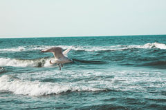 Seagull. Over waves of water Royalty Free Stock Photo