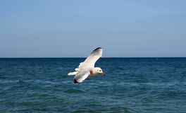 Seagull over weaves Royalty Free Stock Images