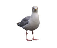 Seagull over white Stock Photography