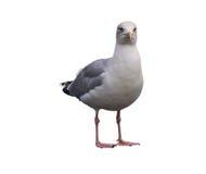 Seagull over white. European Herring Gull, standing on the white background wildlife Stock Photography