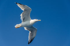 Seagull overhead Royalty Free Stock Image