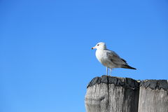 Seagull Overlooking. Over blue skies stock image