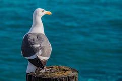 Seagull på bakgrunden av havet Arkivbilder