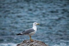 Seagull på bakgrunden av havet arkivfoton