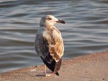 Seagull på balustraden Royaltyfria Bilder