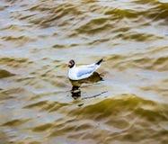 Seagull på bangpooen Royaltyfri Foto