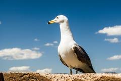 Seagull på blå himmel Royaltyfri Foto