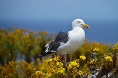 Seagull på Coreopsisbuske på havet Arkivfoto