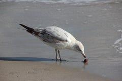 Seagull på den Florida stranden Arkivfoto