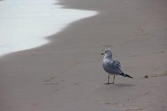 Seagull på den Florida stranden Arkivbild