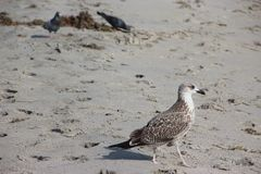 Seagull på den Florida stranden Arkivfoton