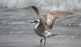 Seagull på den Monterey fjärden Royaltyfria Foton