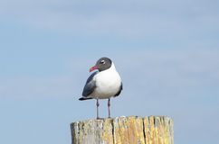 Seagull på den red ut stolpen Arkivbild