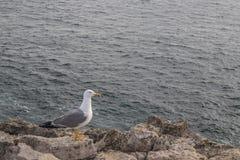 Seagull på den steniga stranden Arkivfoton