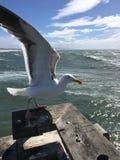 Seagull på den Venedig strandpir Arkivbild