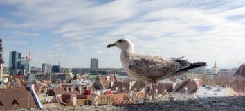 Seagull på en bakgrund av den gamla staden arkivbilder